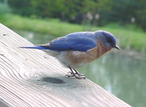 bluebirdcloseup